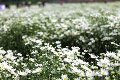 Цветок маргаритки соловья в улице Ханоя Оно цветет только одиночный сезон в очень коротком периоде времени в конце ноября стоковые изображения rf