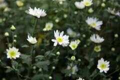 Цветок маргаритки соловья в улице Ханоя Оно цветет только одиночный сезон в очень коротком периоде времени в конце ноября стоковая фотография