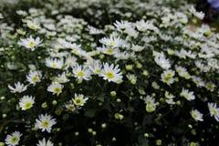 Цветок маргаритки соловья в улице Ханоя Оно цветет только одиночный сезон в очень коротком периоде времени в конце ноября стоковые изображения