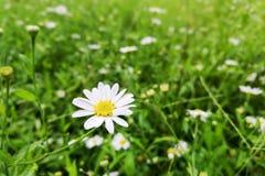цветок маргаритки с предпосылкой зеленой травы Стоковое фото RF