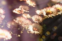 Цветок маргаритки - цветки маргаритки осветили солнечным светом в луге Стоковое Изображение