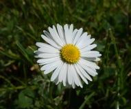 Цветок маргаритки энергии весны солнечный Стоковое фото RF