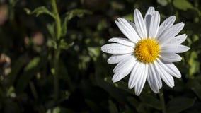 Цветок маргаритки Стоковые Фото