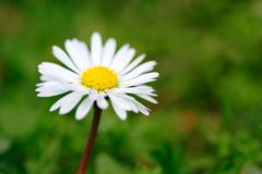 цветок маргаритки Стоковые Фотографии RF