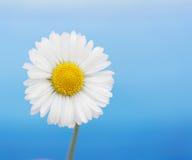 Цветок маргаритки. стоковое фото rf