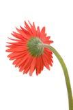 цветок маргаритки Стоковое Фото