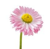 Цветок маргаритки стоковые изображения rf