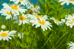 цветок маргаритки Стоковая Фотография RF