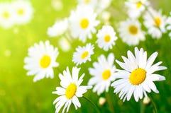 цветок маргаритки Стоковая Фотография