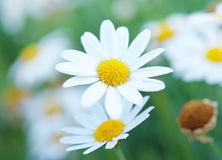 Цветок маргаритки стоковое изображение