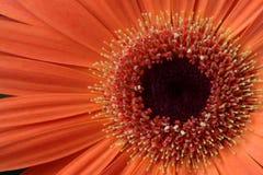 Цветок маргаритки Gerbera, макрос Стоковые Изображения