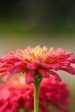 Цветок маргаритки Gerbera Стоковое фото RF