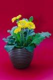 Цветок маргаритки Gerbera Стоковые Изображения RF