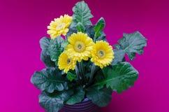 Цветок маргаритки Gerbera Стоковая Фотография RF