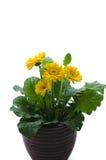 Цветок маргаритки Gerbera Стоковые Изображения