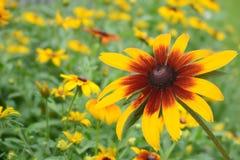Цветок маргаритки Susan макроса наблюданный чернотой стоковые фотографии rf