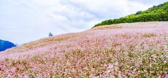 Цветок Маха giac Tam Стоковая Фотография