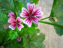 Цветок мальвы Стоковые Изображения
