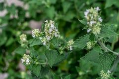 Цветок Мелиссы Стоковое Фото