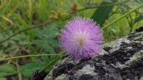 Цветок мимозы Стоковая Фотография RF