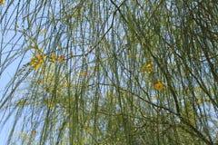 Цветок мимозы Стоковые Фотографии RF