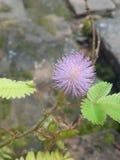 Цветок мимозы Стоковое Фото