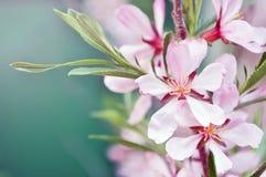 Цветок миндалины стоковая фотография
