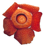 Цветок мира самый большой, tuanmudae Rafflesia, национальный парк Gunung Gading, Саравак, Малайзия стоковое изображение rf