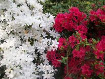 Цветок Мириама Стоковые Фотографии RF