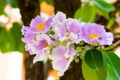 Цветок мирта crape PinkQueen Стоковые Изображения RF
