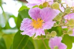 Цветок мирта crape PinkQueen Стоковые Фото