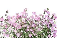 цветок Мускус-просвирника Стоковое Изображение