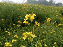 Цветок мустарда стоковое изображение