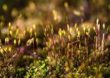Цветок мха Стоковое Изображение