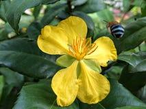 Цветок мыши Mickey Стоковое Изображение