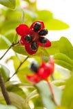 Цветок мыши Micky стоковое фото rf