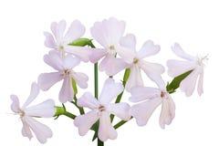Цветок мыльнянки лекарственной Стоковые Фотографии RF