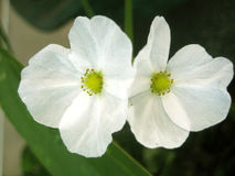 Цветок младенца грязи Техаса Стоковое Фото