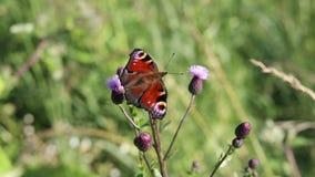 Цветок насекомого swallowtail бабочки сток-видео
