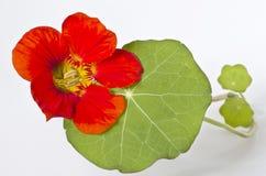 Цветок настурции с листьями на белой предпосылке Стоковое фото RF