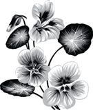 Цветок настурции Стоковые Фотографии RF