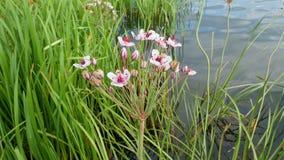 Цветок на озере сток-видео