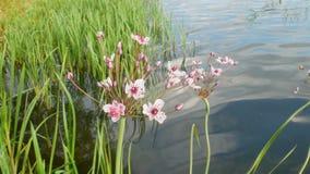 Цветок на озере акции видеоматериалы