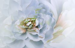 Цветок на расплывчатом розов-желтом bokeh предпосылки Розов-белая хризантема цветков флористический коллаж тюльпаны цветка повили Стоковые Фото