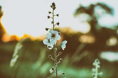 Цветок на сумраке Стоковое Фото