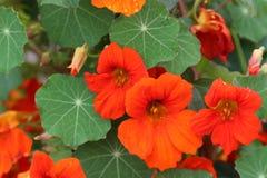 Цветок на Тибете Стоковые Изображения RF