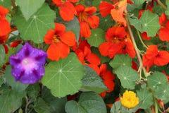 Цветок на Тибете Стоковые Фотографии RF