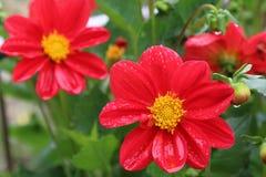 Цветок на Тибете Стоковое Изображение