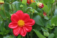 Цветок на Тибете Стоковая Фотография RF