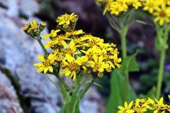 Цветок на Тибете Стоковое Фото